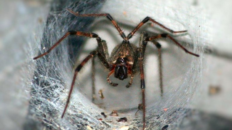 Doctors turn to a spider's deadly venom in hopes of treating stroke victims