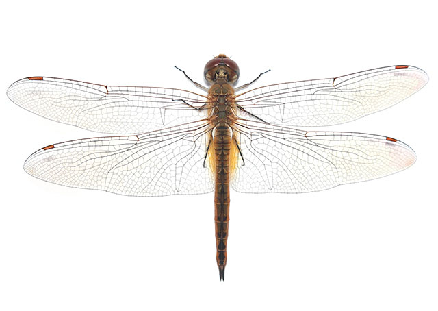 Future aerogels inspired by the wings of a dragonfly